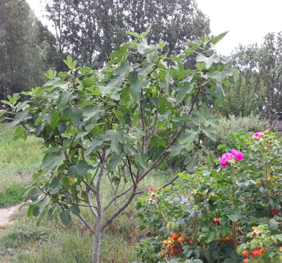 Voedselpark Beek, vijgenboom